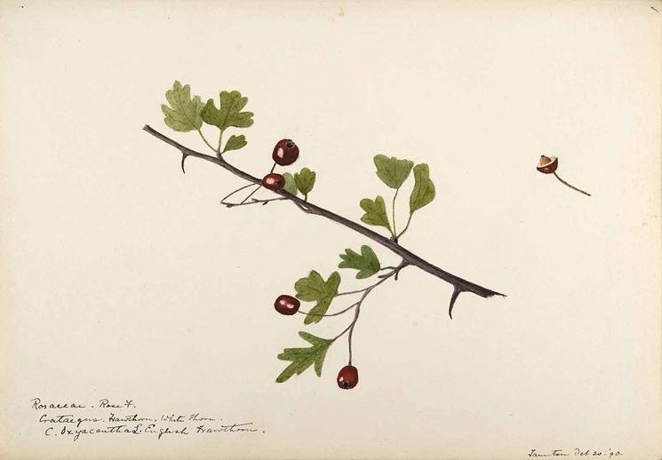 Disegno botanico di crataegus oxyacantha