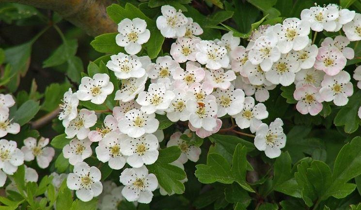 I fiori del biancospino