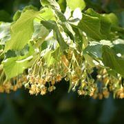 Fiore di tilia tormentosa
