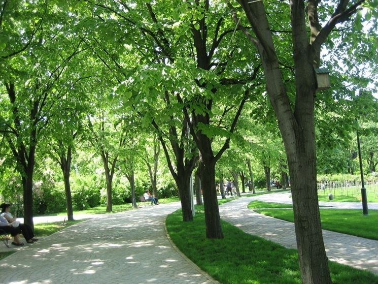 Viale di alberi di tiglio