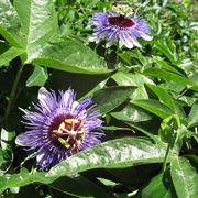 passiflora tintura madre
