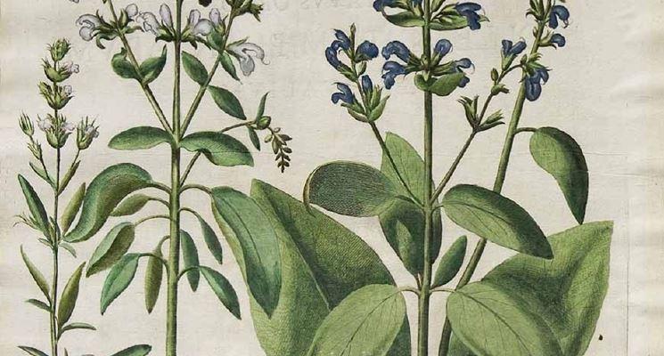 Illustrazione botanica della Salvia officinalis