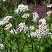 fiori valeriana