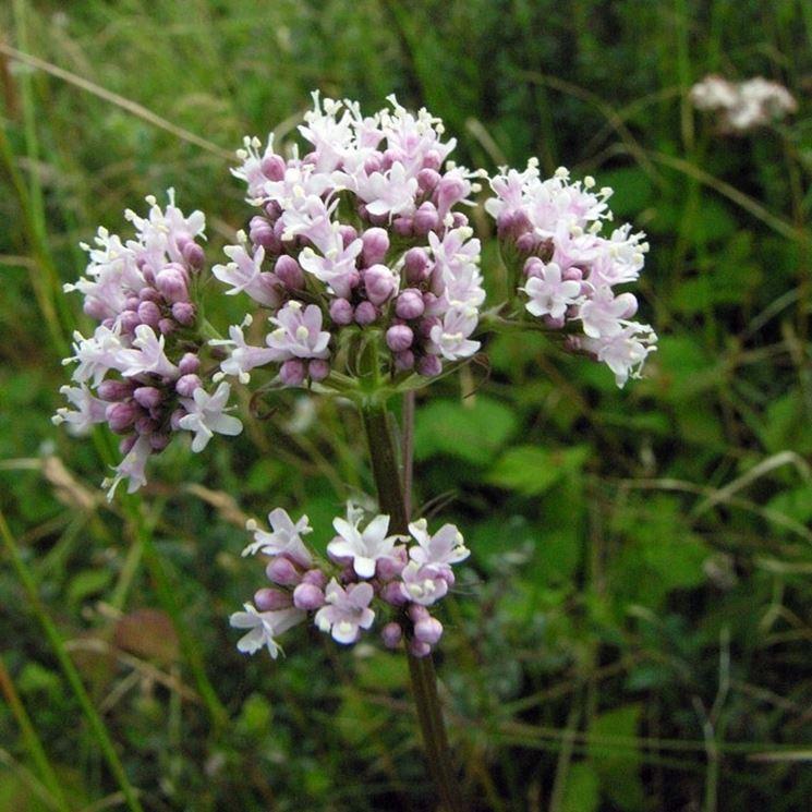 Fiore della <i>Valeriana officinalis</i>.