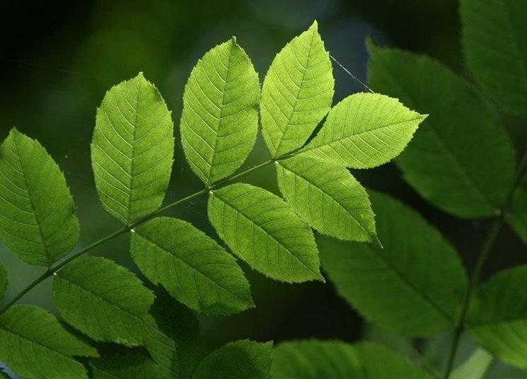 foglie di frassino