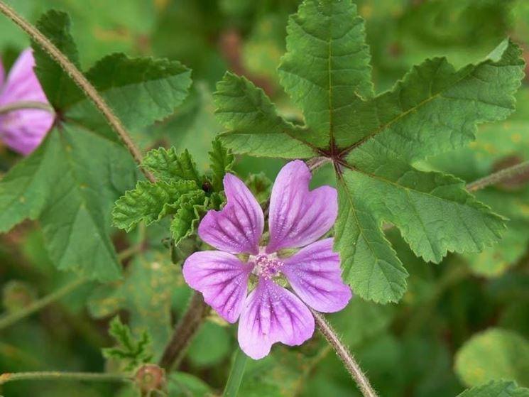 fiore malva