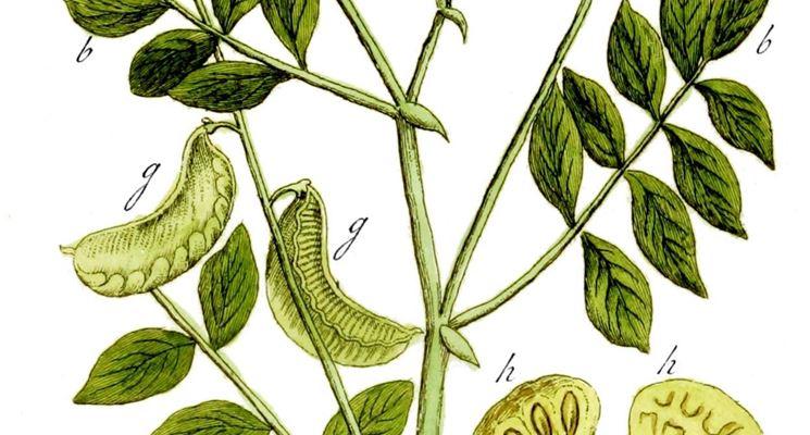 Cassia senna (Cassia angustifolia)