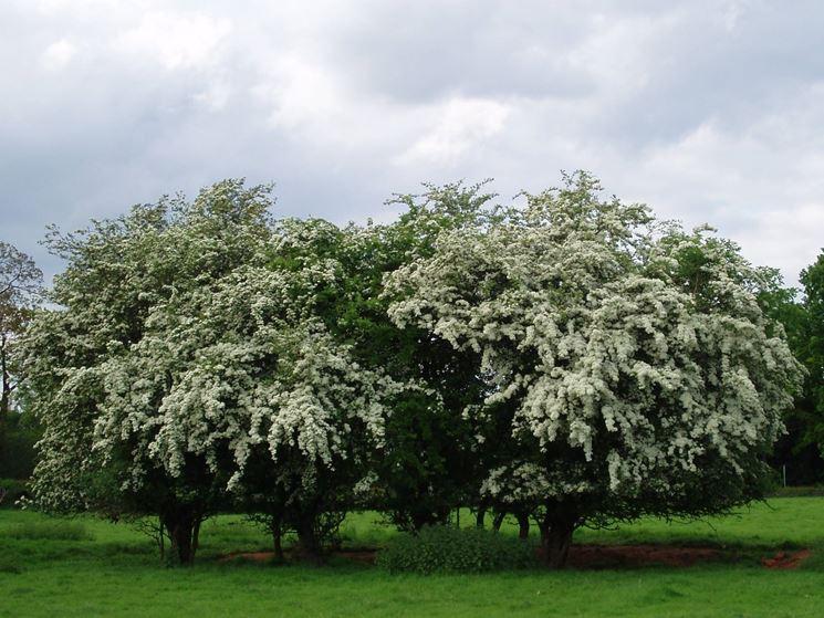 La foto rappresenta un albero di Biancospino.