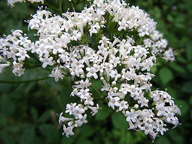 La foto ritrae i fiori della pianta di Valeriana.