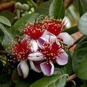 Feijoa in fiore