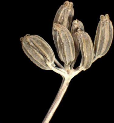 seme finocchio selvatico