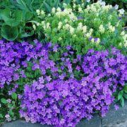 pianta con fiori a campana