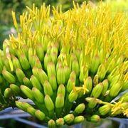 La particolare infiorescenza dell'agave