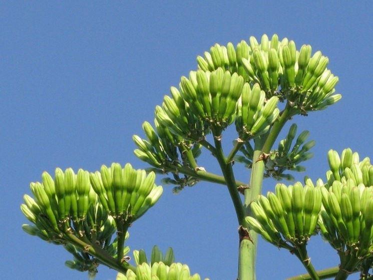 Fiori di agave non ancora sbocciati del tutto