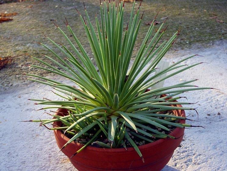 Un esemplare di agave coltivato in vaso