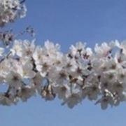 fioriciliegio1