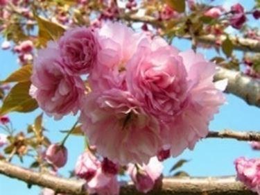 fioriciliegio2