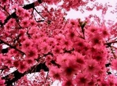 fioriciliegio3