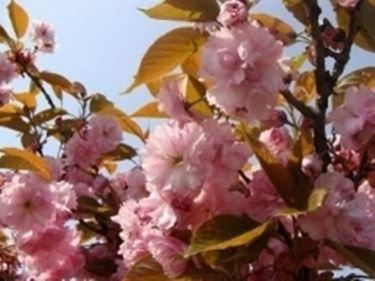 fioriciliegio4