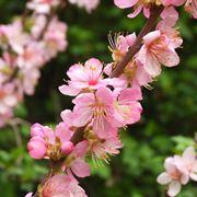 ciliegio da fiore