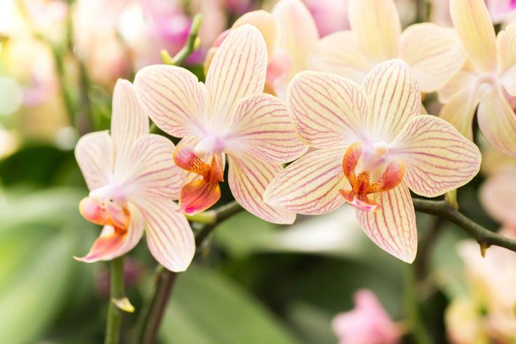 Fiori orientali orchidea