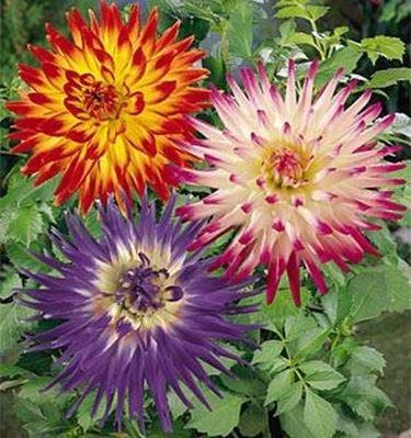 fiori dalia