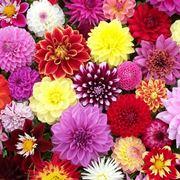 Fiori dalia fiori di piante - Dalia pianta ...