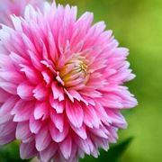 dalia fiore significato