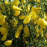ginestra fiore
