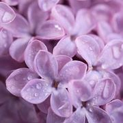 I fiori di lilla