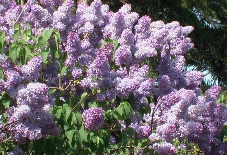 Una pianta di lilla fiorita