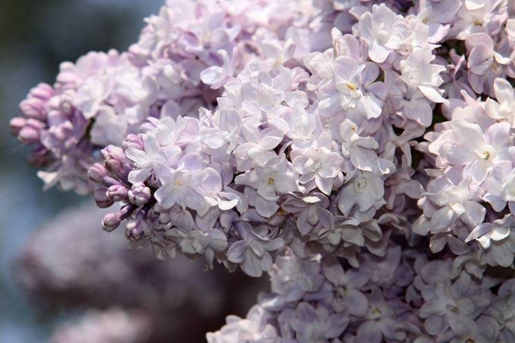Una varietà di lilla dai fiori di colore bianco