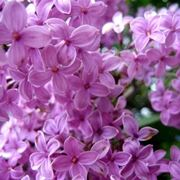 pianta di lillà