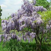fiori a grappoli violacei