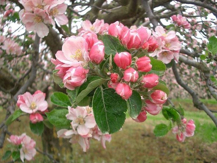 fiori e boccioli