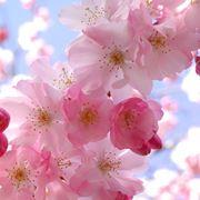 fiori di melo