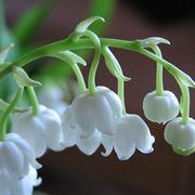 fiore mughetto