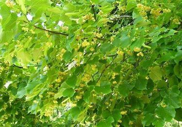 L'albero di tiglio fiorito