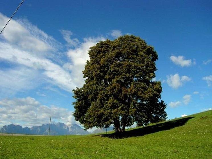 Un albero di tiglio