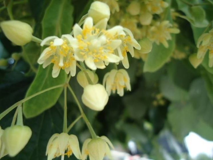 Un esempio di fiore di tiglio