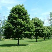 albero di tiglio