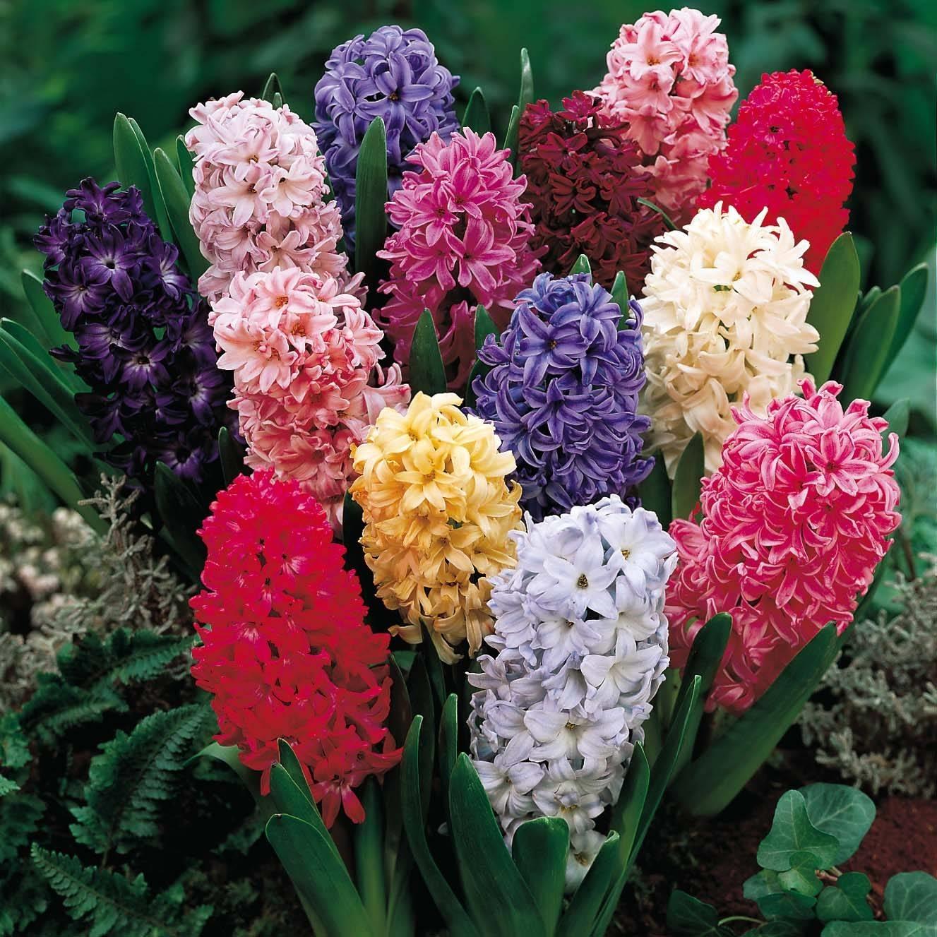 Giacinto, hyacinthus, coltura ad acqua, linguaggio dei fiori