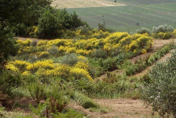 Un viottolo di ginestre che crescono spontaneamente in montagna