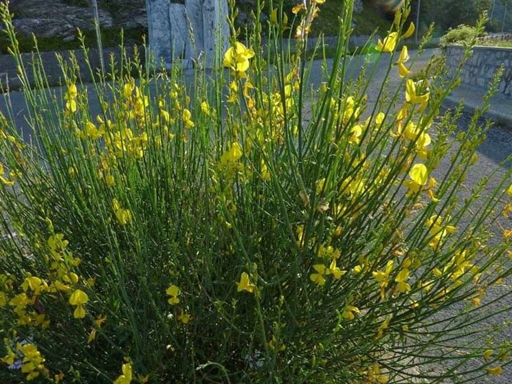 Una pianta di ginestra coltivata in un giardino