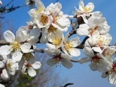 Fiori mandorlo fiori di piante mandorlo fiori for Fiori di ciliegio dipinti