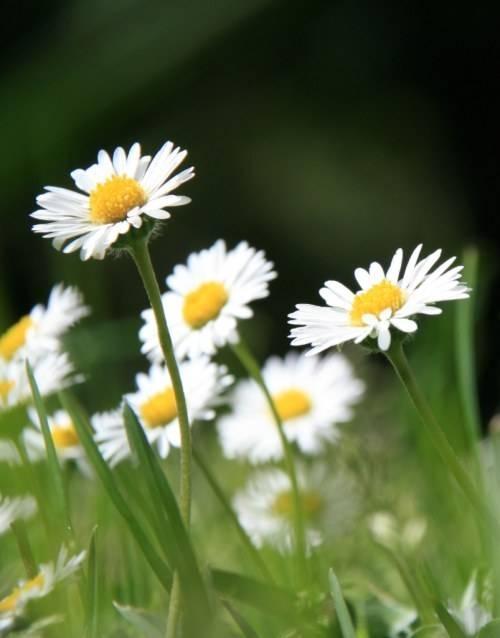 Fiori margherita fiori di piante for Potatura margherite
