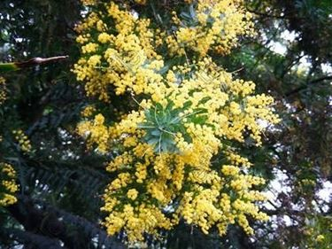 specie mimosa