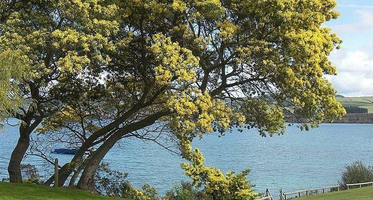 mimosa su lago
