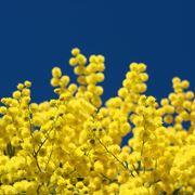 è detta anche mimosa