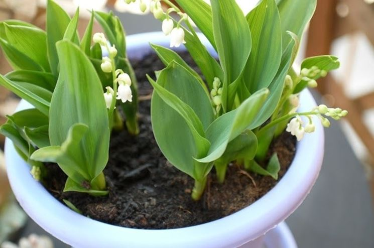 Una pianta di mughetto coltivata in vaso